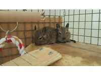 Free to good home-Male Degu's