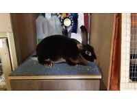 OTTER REX RABBITS (3 DOES & 1 BUCK) IN EXETER