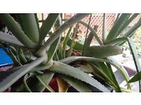 ALOE VERA House plants -2 very large plants