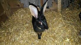Belgian Hare For Sale