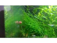 Freshwater Ramshorn snails for sale