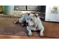 New forever home wanted for a beautiful deaf staffy.