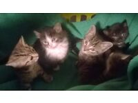 5 beautiful kittens ready to go now 8 weeks old