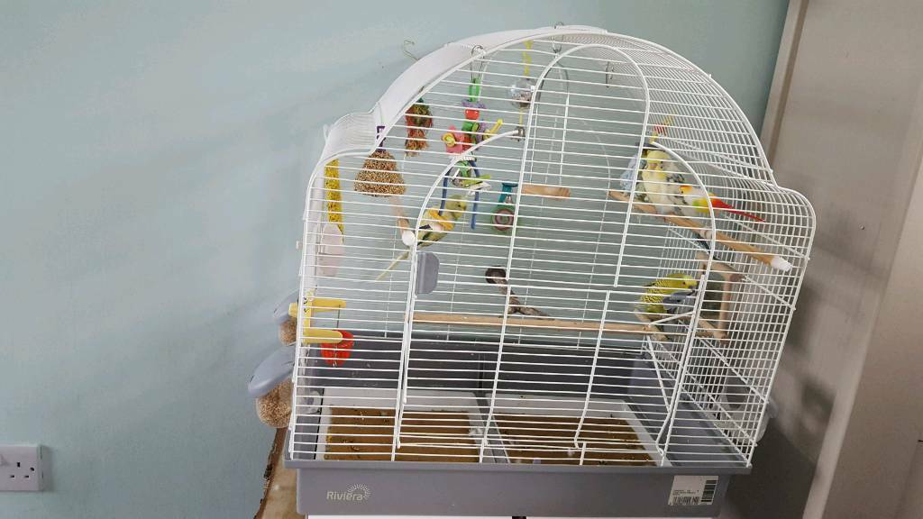 3 Budgies free to a good home