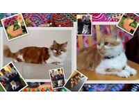 beautiful ginger & white kittens male female cat cats soutrh east london bromley grove park lewisham