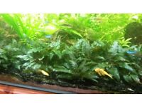 Tropical Plants for fish tank: hornwort, hygrophila, crypts, wisteria, java moss