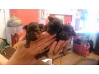 3 female Yorkie Pups £250 ono