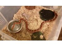 young corn snakes for sale