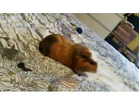 2 Male Guinea Pigs to be sold separately