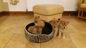 3 KC reg. Japanese Shiba Inu pups for sale