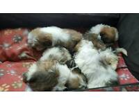 lhasa apso pups full breed