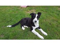 6 month old Border Collie.