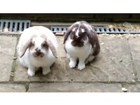 Beautiful medium sized floppy eared house rabbits. 2 years old. Brothers. Neutered. Litter trained.