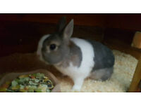 rabbit (male netherland and hutch)