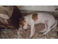 7 month old miniature jack russel male. Fully vaccinated and chipped.