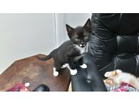 Black Male Bengal Cross Kitten for Sale