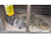 Male friendly rabbit and hutch