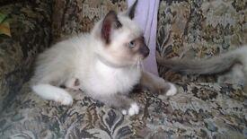 1 handsome male blue eyed ragdoll x kitten for sale