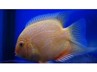 nice group of red spot Severum's x 7 approx 5-6+ inch £25 each