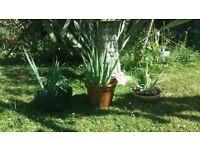 Phormium - NZ ornamental Plants .