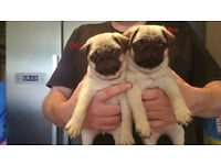 1 Stunning Pure Pug Puppy Left, Ready Now