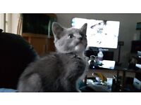 Beautiful grey and white male kitten 12 weeks old