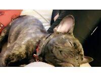 KC Registered Black Brindle French Bulldog