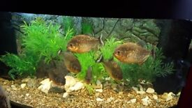 6 red piranha , tank 190L , 2 filters, led lamps.