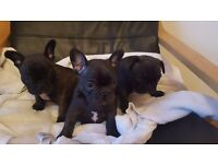 KC registered French Bulldog Puppies for sale
