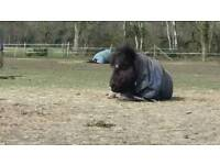 Adorable miniature shetland seeks child to call his own. (No riding)