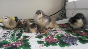 Mixed group of purebred chicks