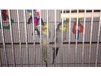 PAIR OF COCKATIELS WITH CAGE