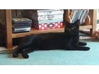 Loving 2yr old neutered male black cat