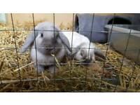 2 female mini lops and indoor cage