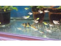 Various tropical fish for sale - tetras