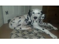 Dalmatian dog 6 months