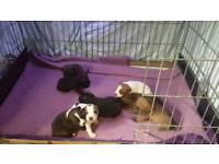 Staffy cross pups puppies