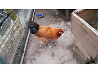 Rooster & Hen for SALE!