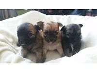 3 small long haired chihuahuas for sale