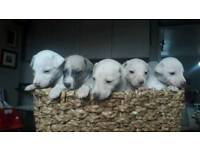 KC registered Whippet puppies