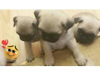5 adorable pug puppies ready to go now