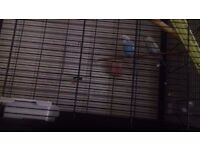 Large cage 2 budgies year old blue and white and yellow and white and food included
