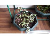 MAKE AN OFFER | Purple Wandering Jew Trailing House Plant Tradescantia Zebrina Pendula Inchplant