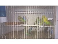 budgies, lot of colours. £10. each.