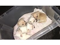 Chiuwawa puppies, 4 boys 1 girl , Wrexham area