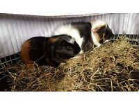 2 male guineas & large hutch