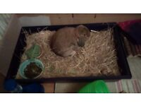 Rabbit (Lop-eared) + Large Indoor & Outdoor Cage + Travel Carrier + Food + Complete Accessories