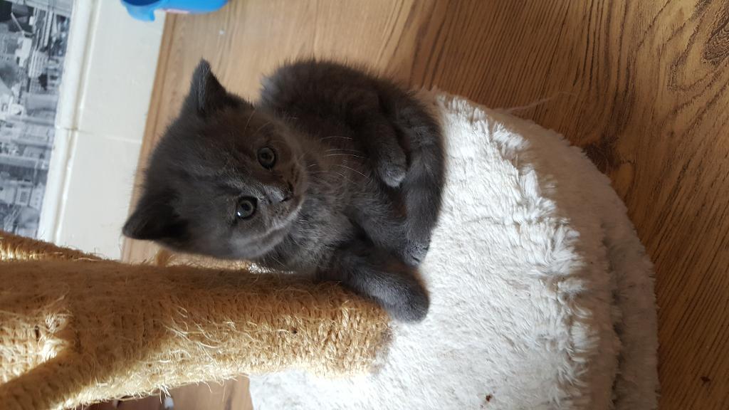 Blue Kittens For Sale : Gccf reg british blue kittens for sale in swansea gumtree