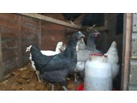 p.o.l pullets for sale