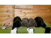 Beautiful Mini lop bunnies ready for a loving home